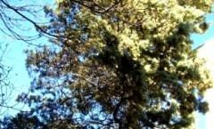 .CUPRALBA, Liquore di cime fiorite di cipresso argentato