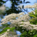 Torta con i fiori sambuco