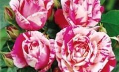 rose rinascimento