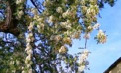 Frittelle dolci di fiori d' acacia e zucca Petronilla