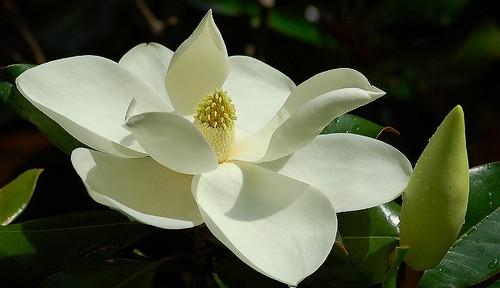Cotolette di Fiori di Magnolia